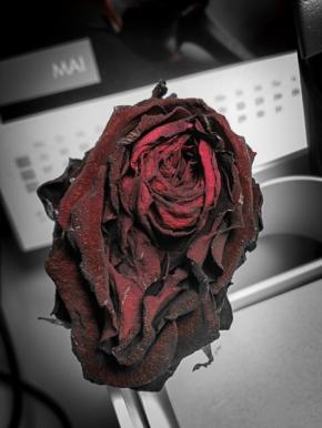 Eine verblühte Rose gibt ihr Innerstes frei