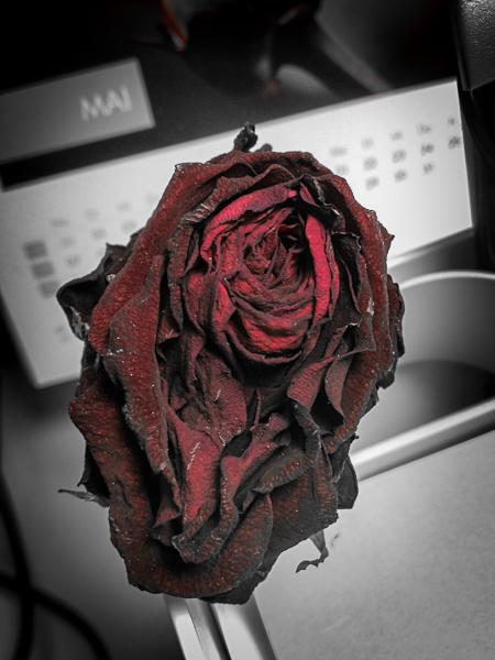 Ein verblühte Rose gibt ihr Innerstes frei - Foto © claudia pautz 2012